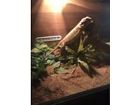 Bearded dragon plus vivarium