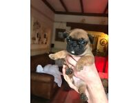 Kc registered French bulldog puppies £1500