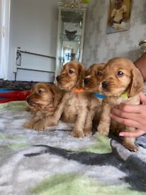 Show type cocker spaniel pups