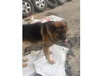 German Shepard puppy's