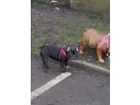 13 monrhs old black white french bulldog kc regustered gd with ither dogs and cats