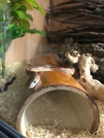 Corn snake with 5ft vivarium and all acessories