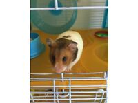 Syrian Hamster, with cage and accessories
