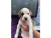 American boxer x alpha blue blood bulldog puppies