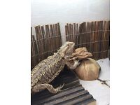 Bearded dragon about 1 and a half old