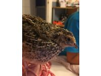 Japanese Quails 8 weeks