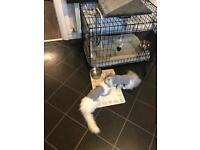 Persian grey & white kittens