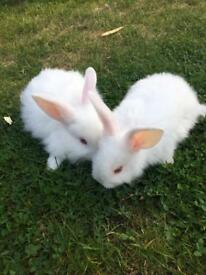 Baby rabbits ready 21st of August 3 x male 1 x female