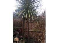 Palm tree for sale in Tooting Bec