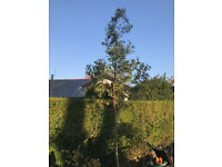 Eucalyptus (Gumtree) Tree for sale