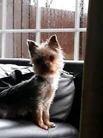 Teacup/ Minature Yorkshire Terrier pup