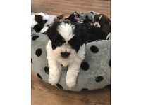 Gorgeous lhasapoo x shih tzu puppies for sale