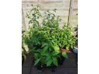 Six Sweet Pepper & One Chocolate / TWO Garden Mint Herbs plants 60cm plus 3 litre pot