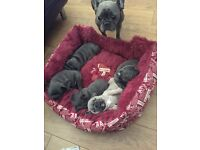 4 Solid, Stunning, Blue, French Bulldog Puppies For Sale