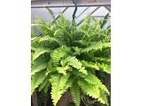 Hanging fern houseplant