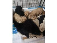 READY NOW Stunning red KC Toy poodle
