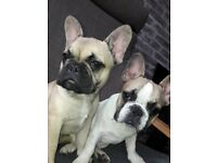 2 Beautiful French Bulldog Puppies for sale!