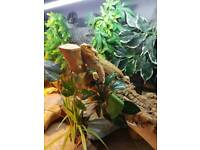 Male bearded dragon (dragon only