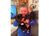 For sale small x cross breed x Pomeranian 3 boys and 3 girls