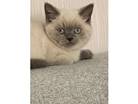 Beautiful pure breed British short hair kittens for sale