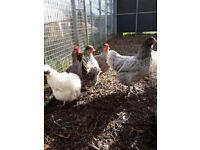 Variety of chicken breeds for sale