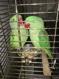 2x Alexander parrot male and female