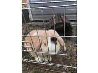 Pure mini lop harlequin extreme boy 2 years old