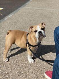 British bulldog pup (male)