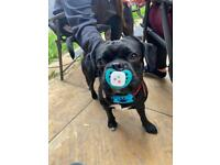 French Bulldog x Pug needs forever home