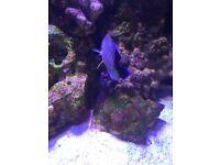Marine dwarf angelfish/orange linnned angelfish £45 Ono