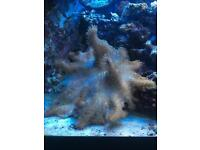Large leather Marine coral