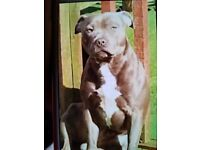 2Blue 2brindleand2 brown staffordshire bull terriers
