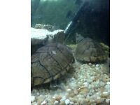 Turtles and tank for sale