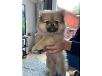 Pomeranian puppies for sale - due to go 15th May