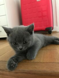 Bsh blue kitten