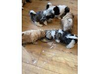 Shichon puppies