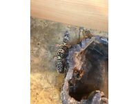 Lepord Gecko for sale