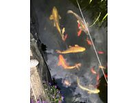 Large Koi Fish and smaller goldfish For Sale