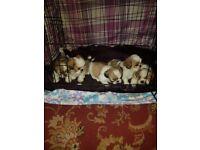 shih tzu pups girls and boys honey/white