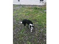 Collie female dog.Dog is now sold thanks