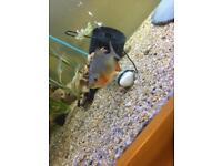 Baby pacu fish