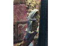 House geckos stunners