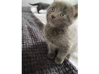 Last kitten available half British blue ready to go now
