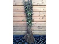 Thorn Hedging plants - Bare Root