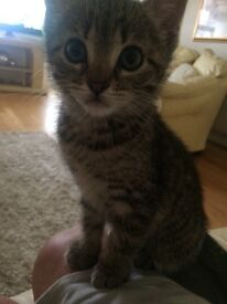 Grey female Tabby ready now for a loving home.