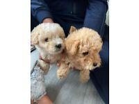 Lakeland x poodle puppies