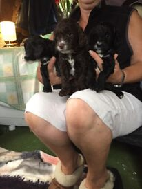 Last two lowed price Beautiful toy sproodle puppies