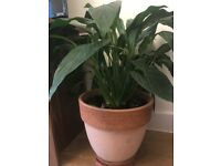 Peace lilly plant with terracotta plant pot