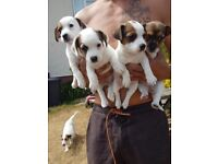 French Bulldog/Jack Russell Puppies