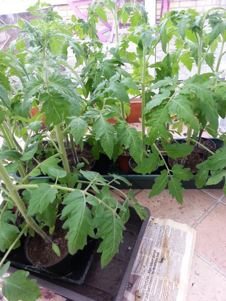 Tomato Plants Geraniums Petunia 60p Each In Cottenham